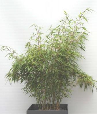 Phoenix Square 49 mit Bambus