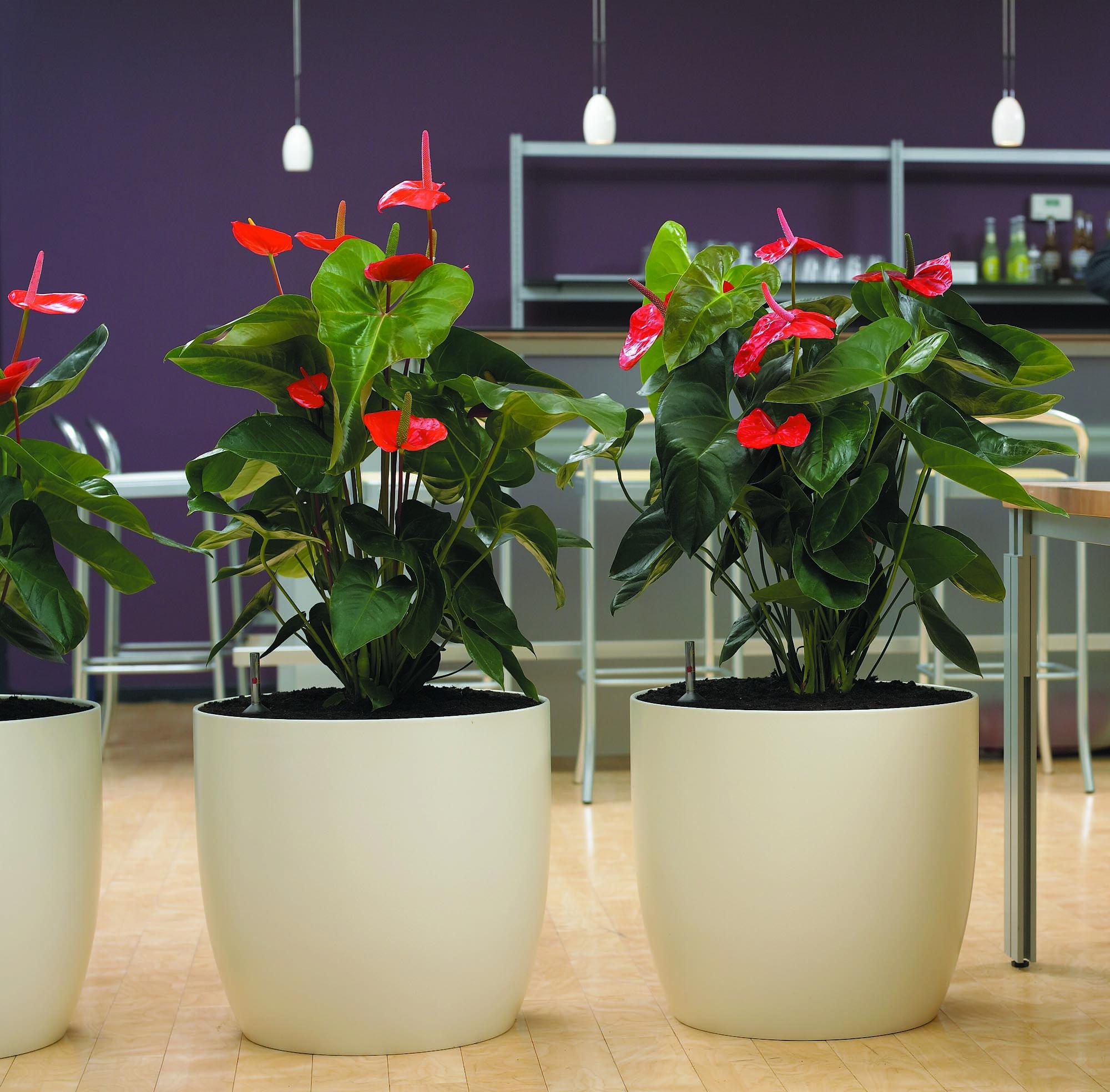Anthurium hybride - Top perlweiss