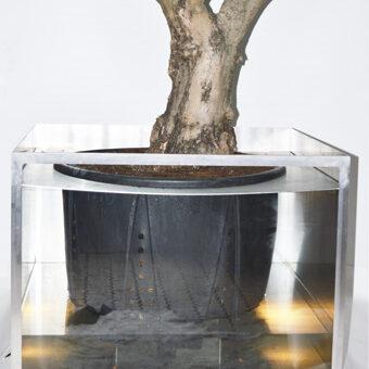 Olivenbaum Biennale Gefäßquerschnitt